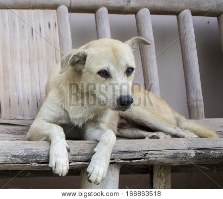 Old white dog on rustic wooden bench. Village life scene with white dog. Old friend portrait. Sad dog's eyes. Domestic animal in the village.