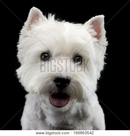 Portrait Of A Cute West Highland White Terrier