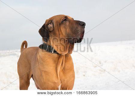 Male of Fila Brasileiro outdoor in winter