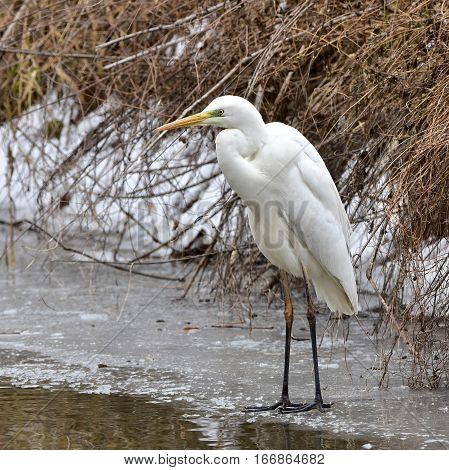 white egret fishing on edge of non frozen river