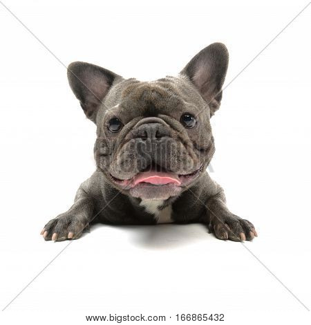 Wide Angle Shot Of An Adorable French Bulldog