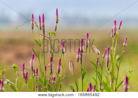 Pink flower Obedient Plant alike or better known as Physostegia Virginiana for blur background
