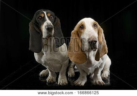 Studio Shot Of Two Adorable Basset Hound