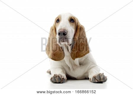 Studio Shot Of An Adorable Basset Hound
