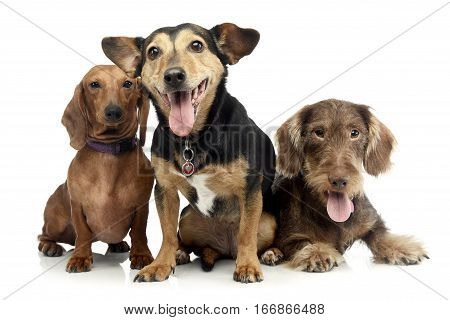 Studio Shot Of Two Adorable Dachshund And A Mixed Breed Dog