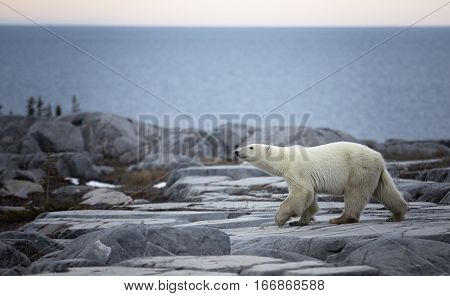 Polar bear walks along the rocky coast of the Hudson Bay in Churchill, Manitoba, Canada.
