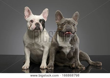 Studio Shot Of Two Adorable French Bulldog