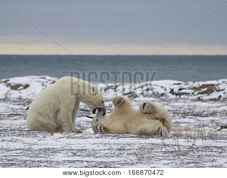 Two polar bears playing on the tundra in Churchill, Manitoba, Canada.