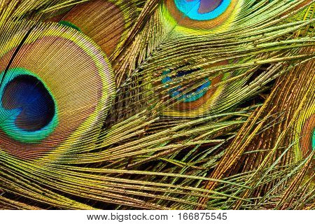 Background of peacock feathers. Peafowl plumage close up