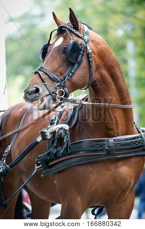 Portrait of bay carriage driving horse outdoor