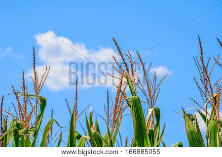 Corn stalk plants in a farmers field.  Agricultural production of healthy food.  Farmland view of corn stalks with white puffy clouds and blue sky.