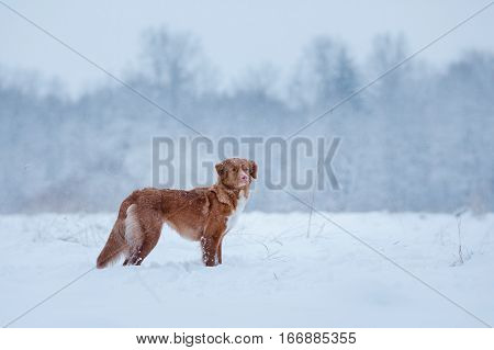 Winter Season. Dog In The Nature