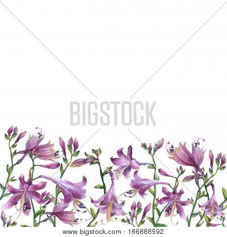 The frame of the branches with purple hosta flower. Lilies. Hosta ventricosa minor, asparagaceae family. Hand drawn watercolor painting on white  background.