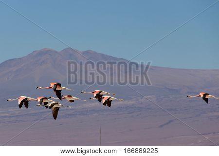 Pink flamingos flying in salar de Atacama, Chile