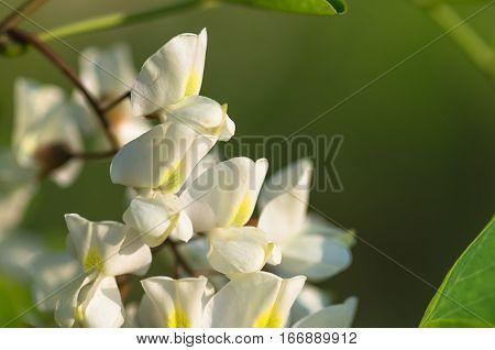 beautiful flowers white acacia closeup spring natural background