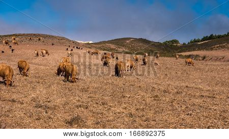Brown cows grazing underneath a hill in Portugal