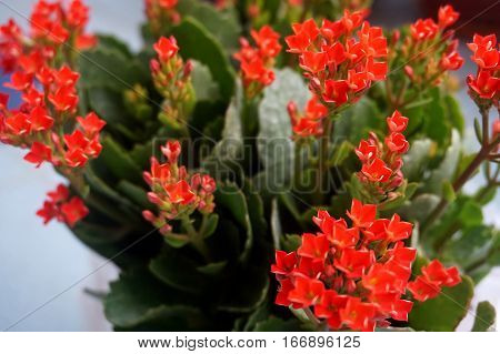 Four red petal flower Kalanchoe Flower tropical succulent plant or better known as Widow's-thrill