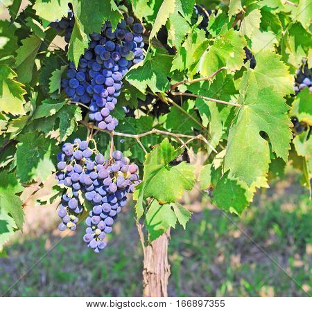 grapevine in chianti in fall with bunches of ripe blue grapes ready to be harvested