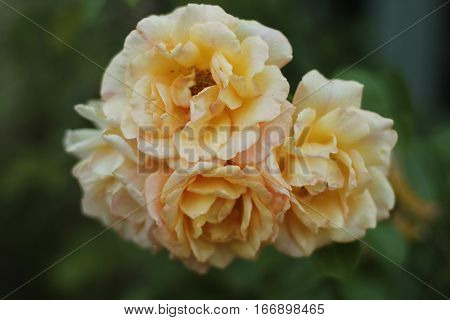 THis is a golden peachy cluster of roses on a rosebush seen close up
