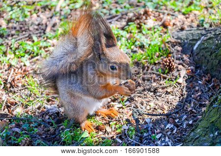 The squirrel gnaws a nut in a Minsk park.
