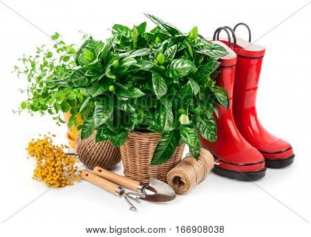 Green bush with flowers in basket red jackboot and garden tools spring branch mimosa gardening. Isolated on white background