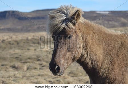Icelandic horse standing in solitude in a field in Iceland.