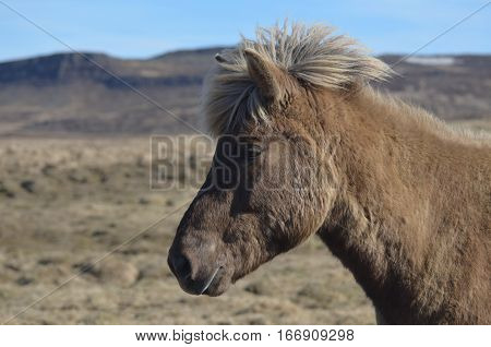 Profile of an Icelandic horse in Iceland.