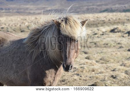 Gorgeous face of an Icelandic horse with a blonde mane.