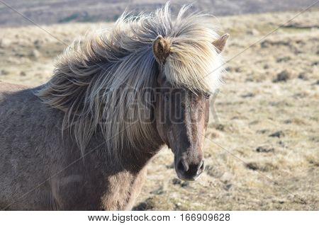 Wind blown mane on a sweet Icelandic horse.