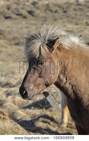Beautiful Icelandic horse with a shaggy mane in Iceland.
