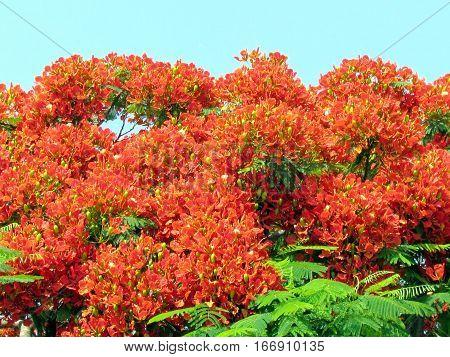 Red acacia flower in Edith Wolfson Park in Ramat Gan Israel June 22 2011