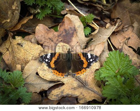 Red Admiral (Vanessa atalanta) butterfly basking in early spring sunshine on dead leaves on the ground