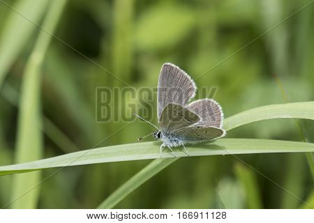 Small Blue butterfly Cupido minimus sitting on a blade of grass facing to the left with wings partly open showing both upper and under wing