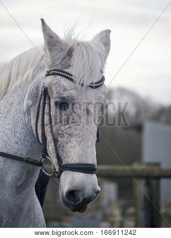 Fleabitten grey dressage horse being ridden in a snaffle bridle and drop noseband