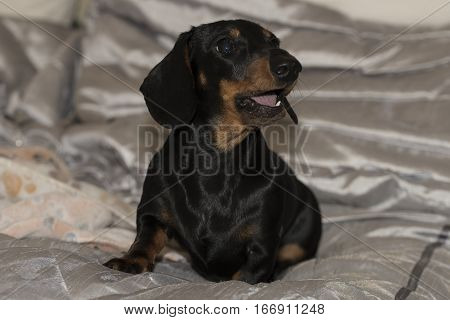 Black and tan Miniature Dachshund puppy sitting with mouth open on shiny blankets facing to the right