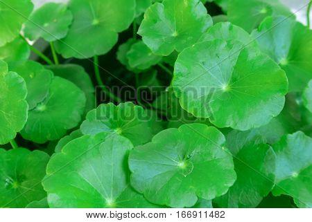 Closeup Centella asiatica or gotu kola in the pot ayurveda herbal medicine