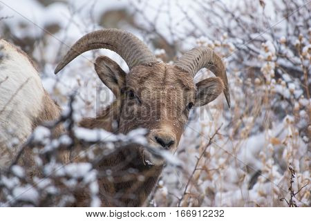 A Young Bighorn Sheep Peeking up from the Hillside