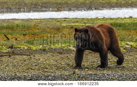 An Alaskan Brown Bear Walking along the River Bank Looking for Food