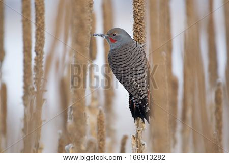A Northern Flicker poses with Snow on Beak
