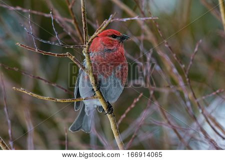 A Pine Grosbeak Perched on a Branch in Winter
