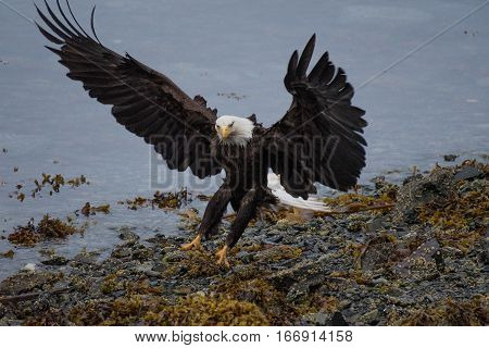 A Bald Eagle coming in for a Landing