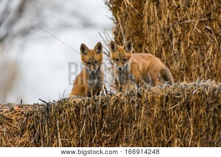 Mischievous Red Fox Kits Playing away from the Den