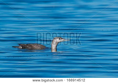 A Red-throated Loon Swimming on a Lake