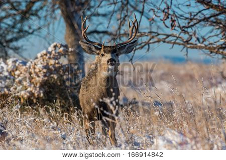 A Mule Deer Buck in Early Fall