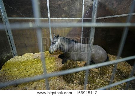 Gray pony lying down in a stable