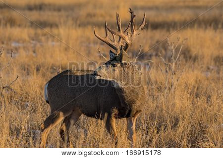A Large Mule Deer Buck in the Morning Sun