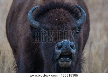 Bison letting out a grunt while feeding