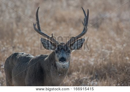 A Mature Mule Deer Buck in Late Fall