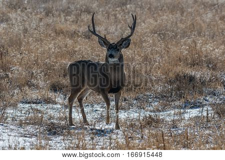 Mule Deer Buck in Early Fall on a Cold Morning