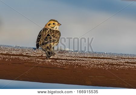 A Lapland Longspur on a Wood Fence on a Frosty Morning